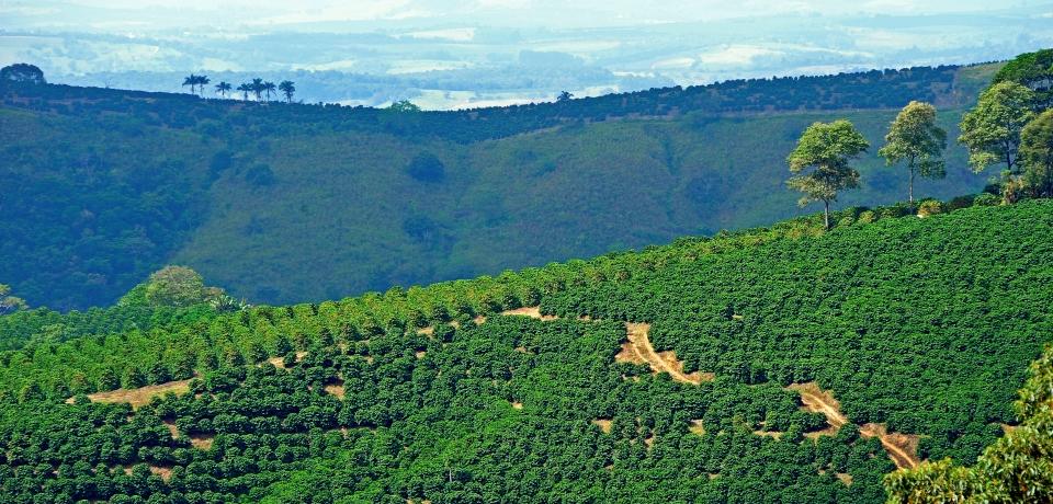 Brasil , Minas Gerais area , April 2010 . Wiew of the Fazenda Das Almas in Cabo Verde . Cultivation of Coffee . © Manfredo Pinzauti .