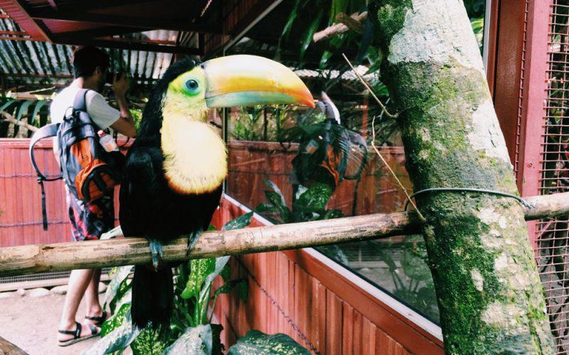 costa-rica-tucano